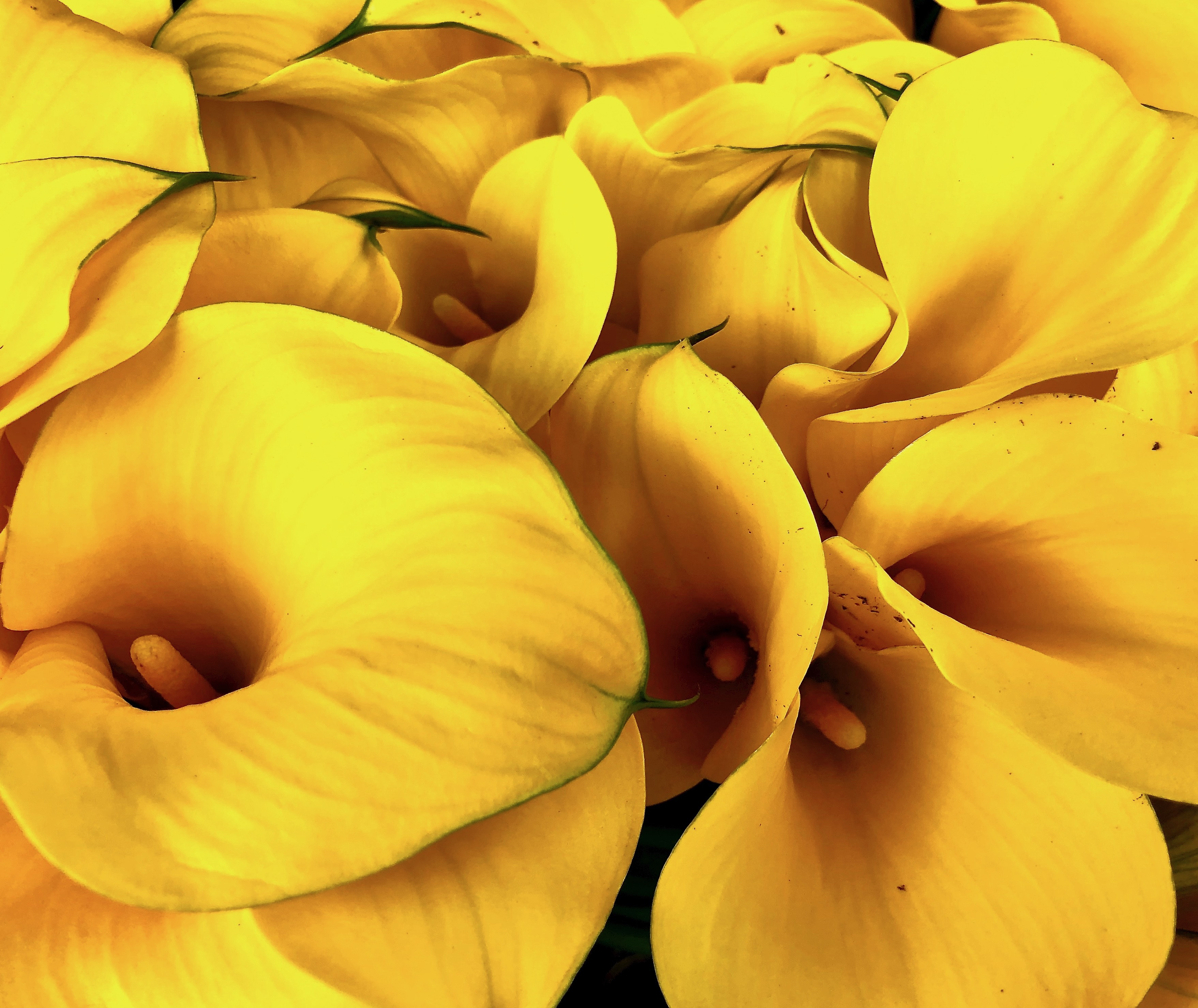 Not so speechless sunday an assortment of calla lilies among the flowers that stood out at the santa barbara farmers market yesterday were the calla lilies the word calla in greek means most beautiful izmirmasajfo