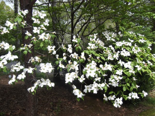 Dogwoods are blooming in Murphy NC