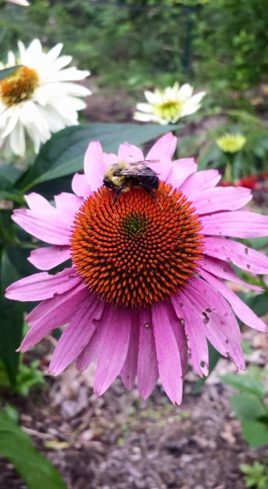 coneflower and bee