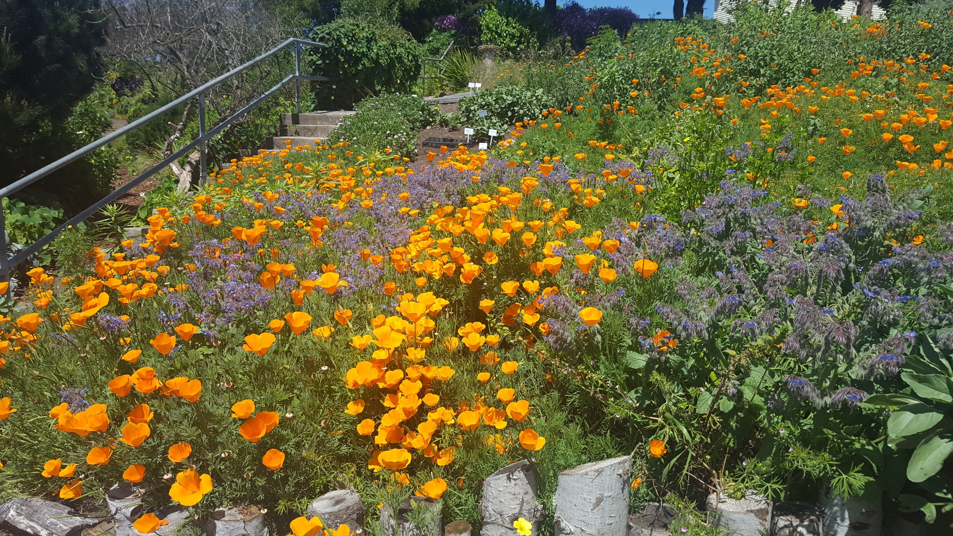 poppies at Ft. Mason Community Garden, SF