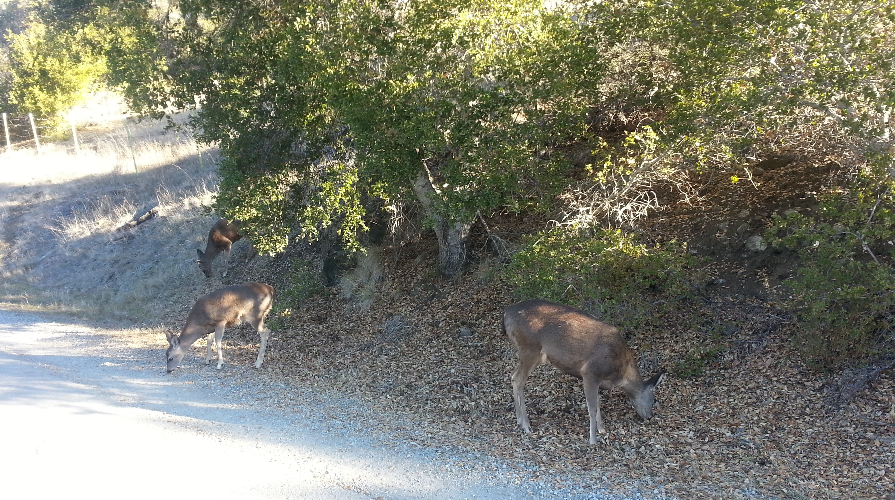 deer along the Sawyer Camp Trail