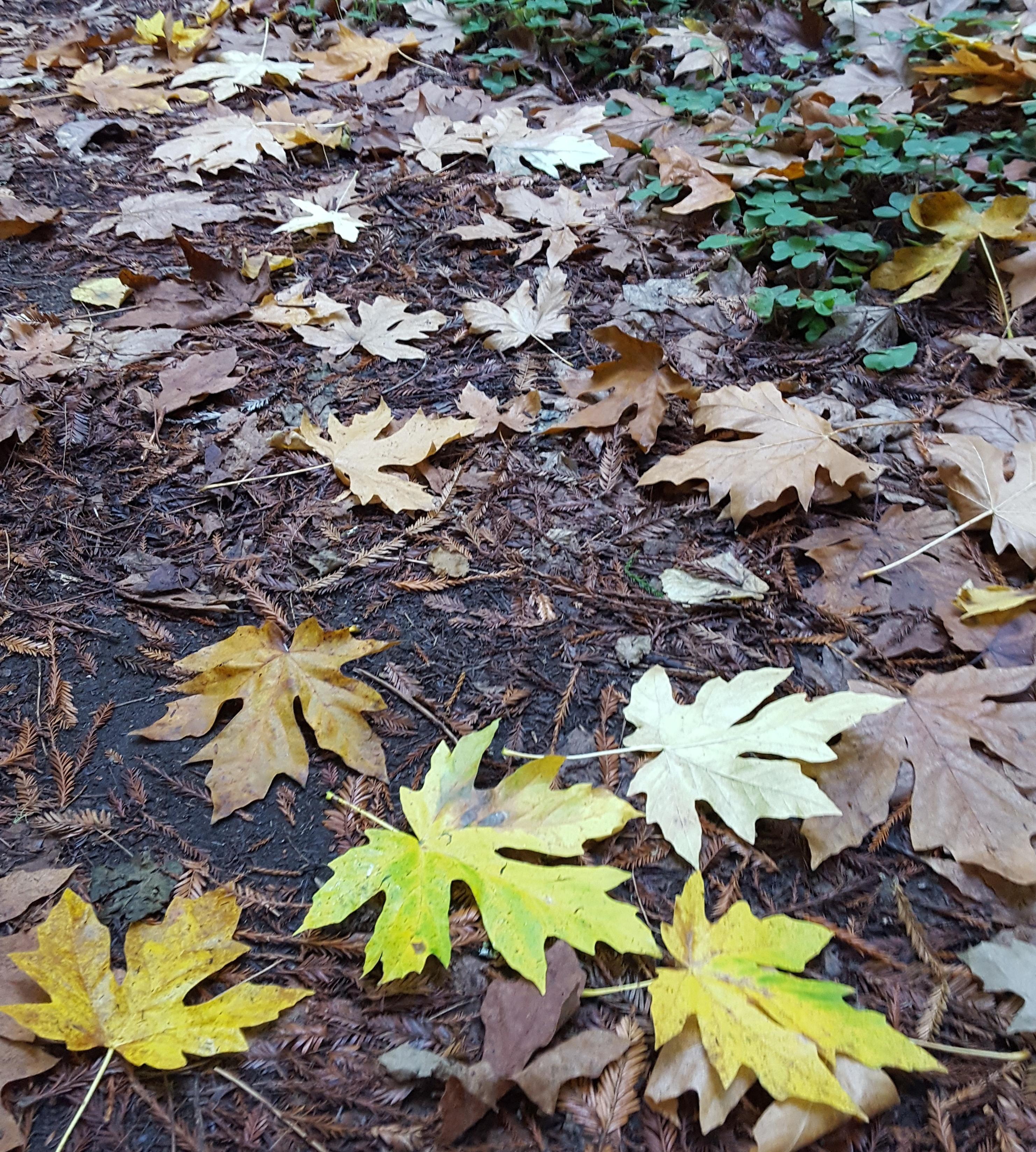 autumn leaves, Purissima OSP, CA