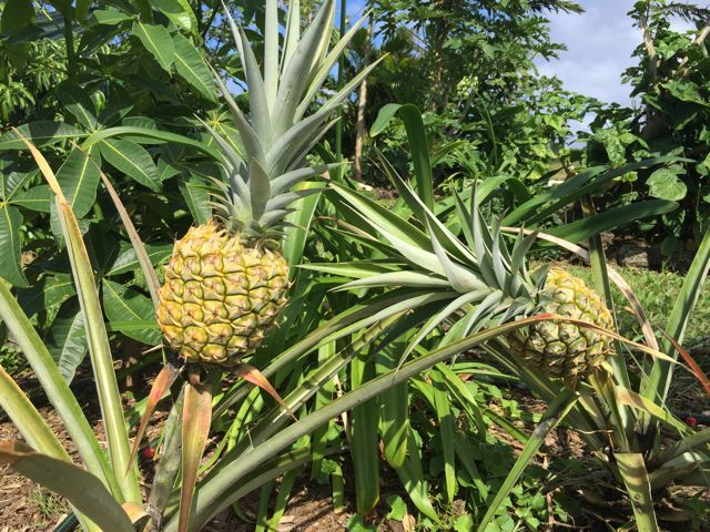 pick your own pineapples in Haiku Maui