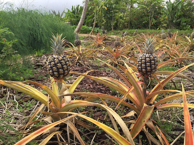 Pineapples growing in Haiku Maui