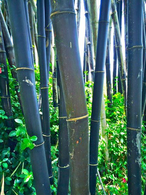 Tropical black bamboo in Haiku Maui HI 96708