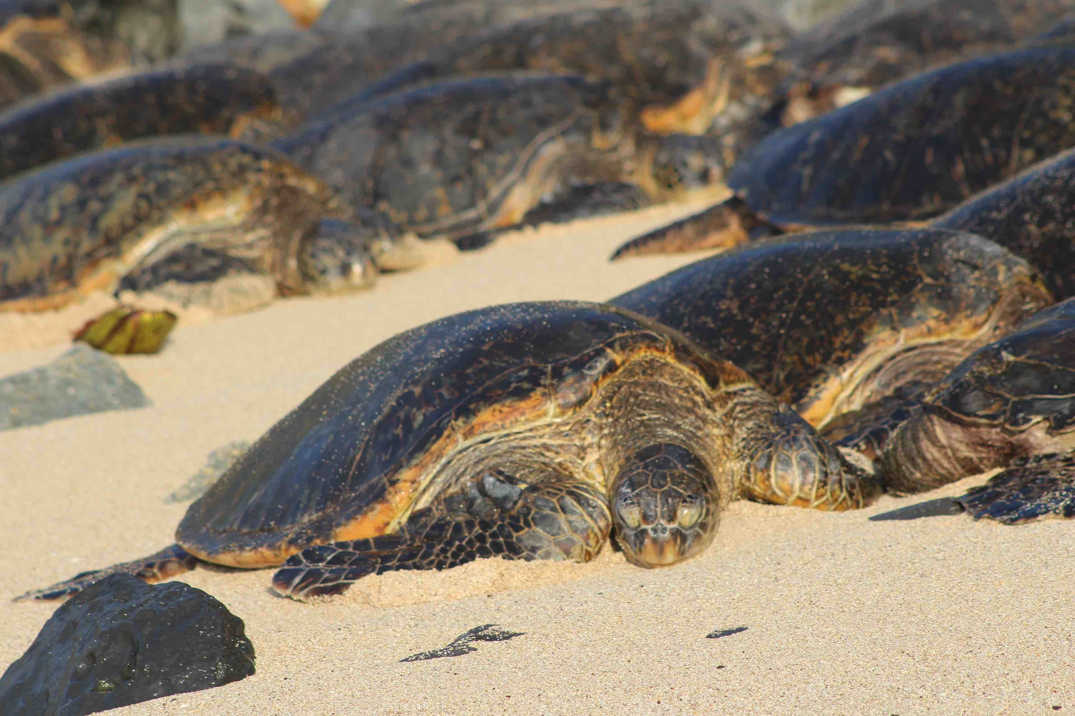 Big sea turtles on the beach, Maui Hawaii