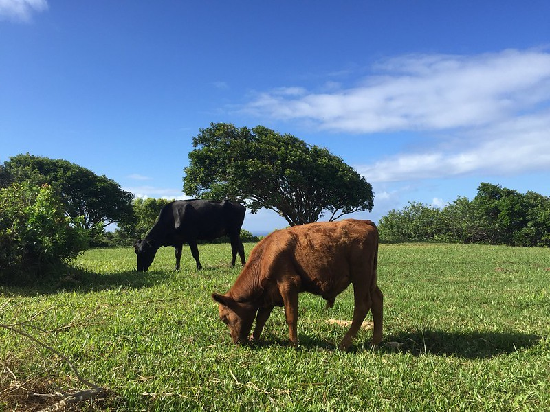 Cattle grazing in Haiku Maui
