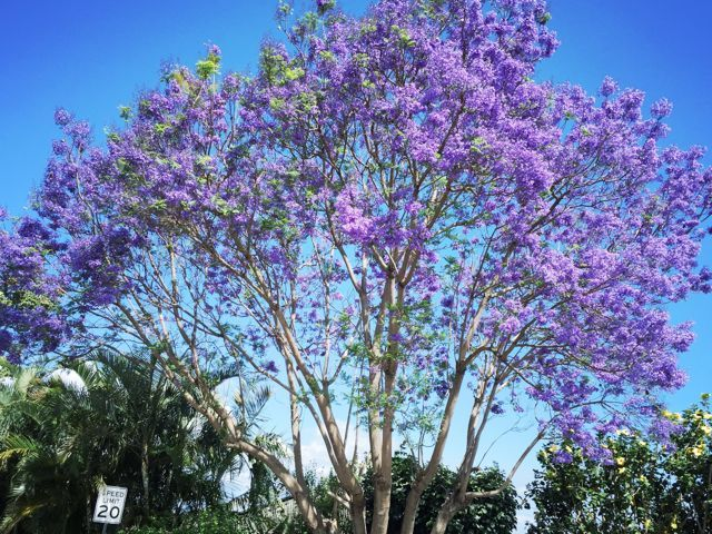 purple is the color of spring in kula maui hawaii