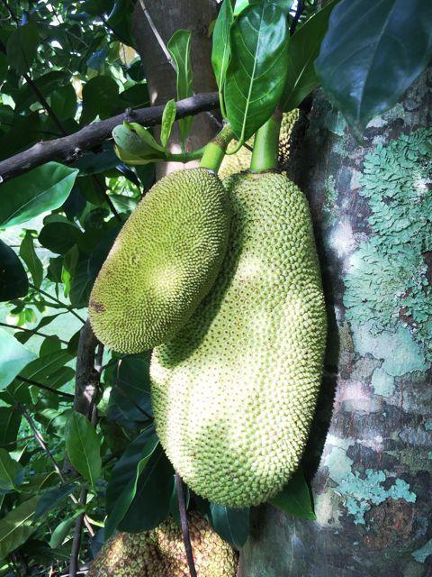 Jackfruit growing in Haiku Maui HI