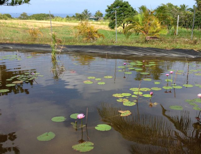 Get your water lilies at the Maui Water Lily Farm in Haiku Maui Hawaii