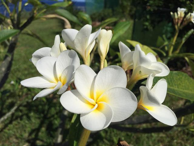 Pretty plumeria flowers - Maui Hawaii