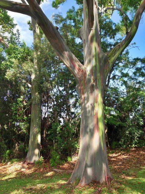 Rainbow Eucalyptus Trees In Upcountry Maui