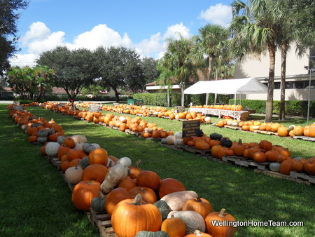 Wellington Florida Pumpkin Patches 2014 | Where to Buy a Pumpkin
