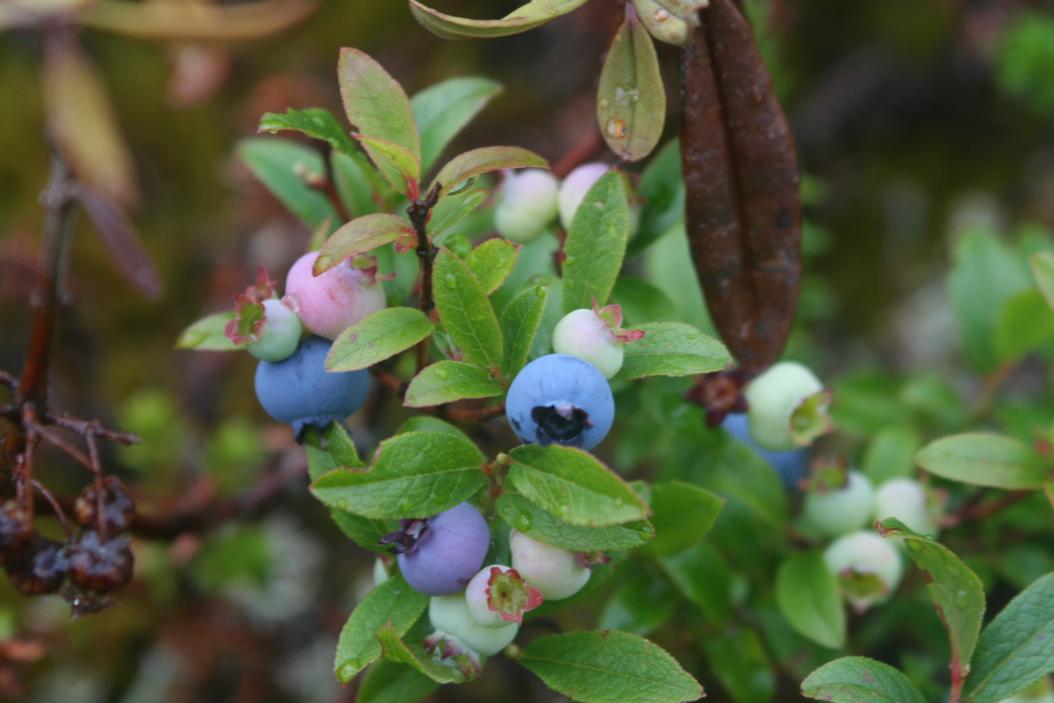 maine blueberry farming on the barrens photo