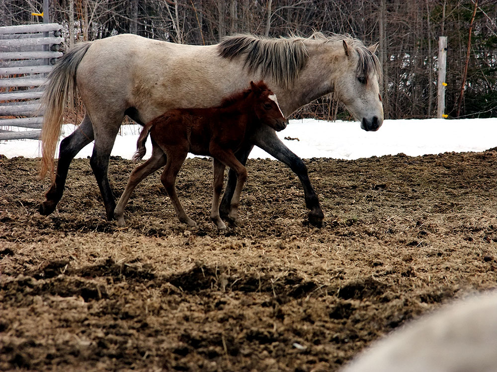 farm horses in maine photo
