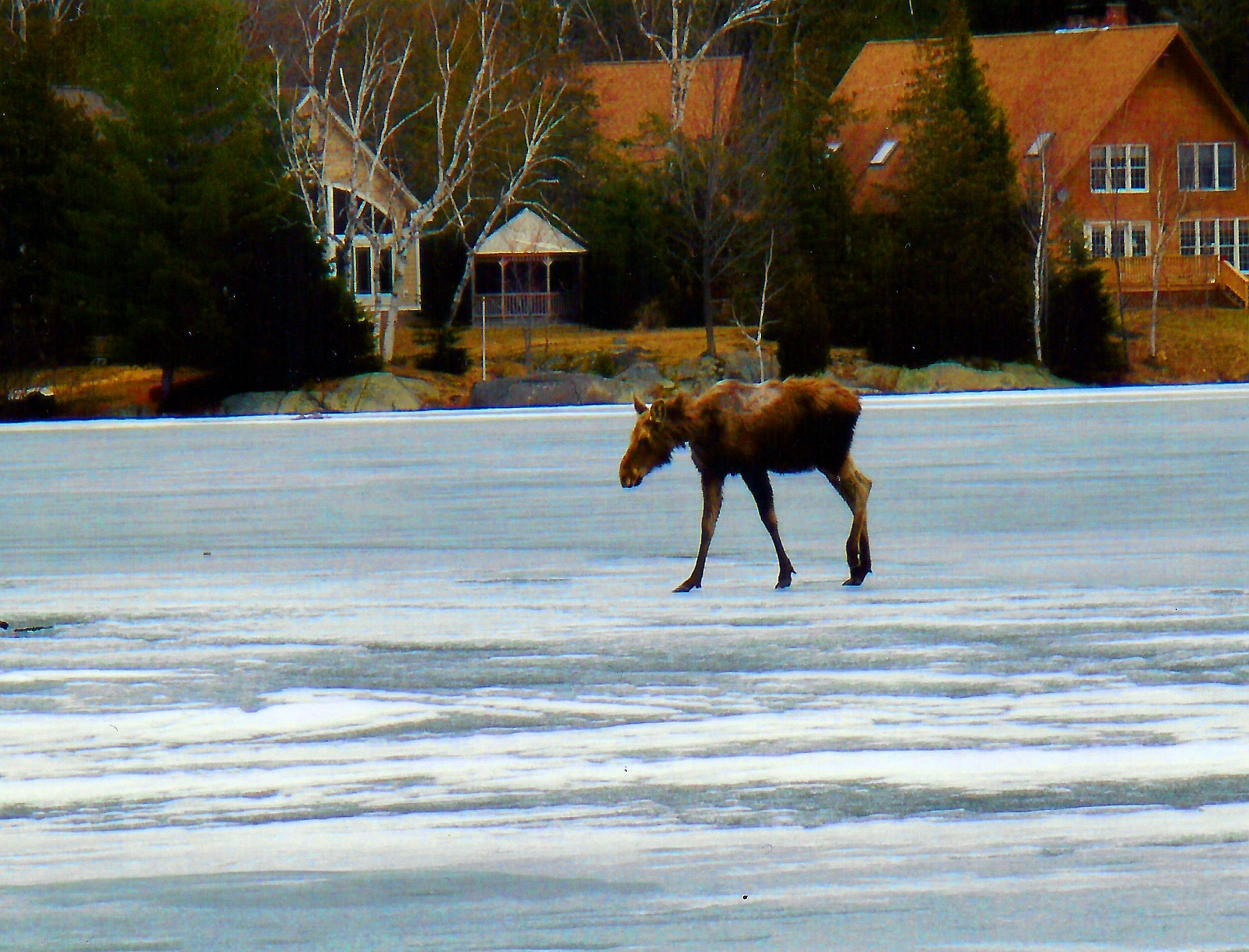 thin ice maine moose lake photo