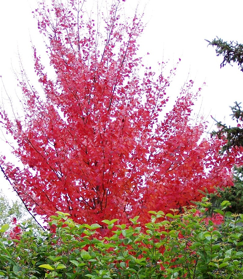 Autumn Blaze Maple Tree in Minnesota