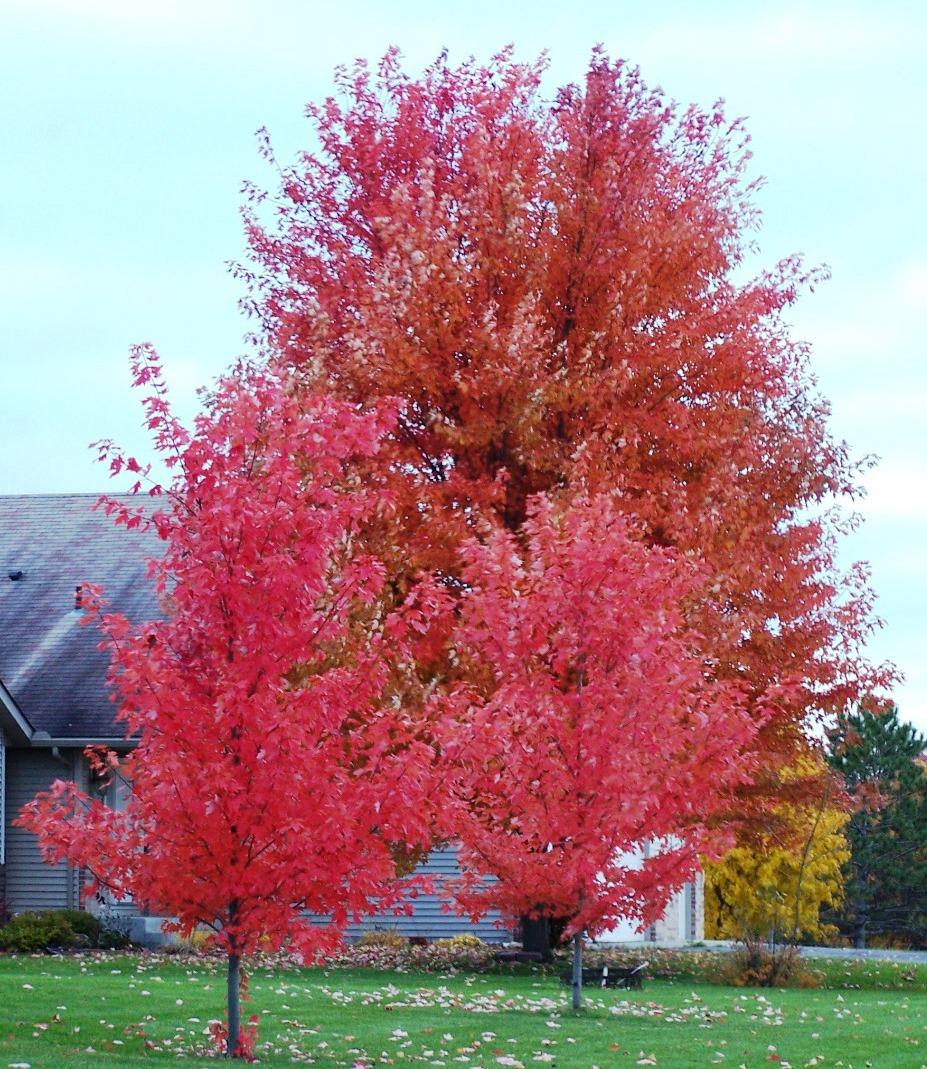 Autumn Blaze Maple Tree In Blaine Mn 55434