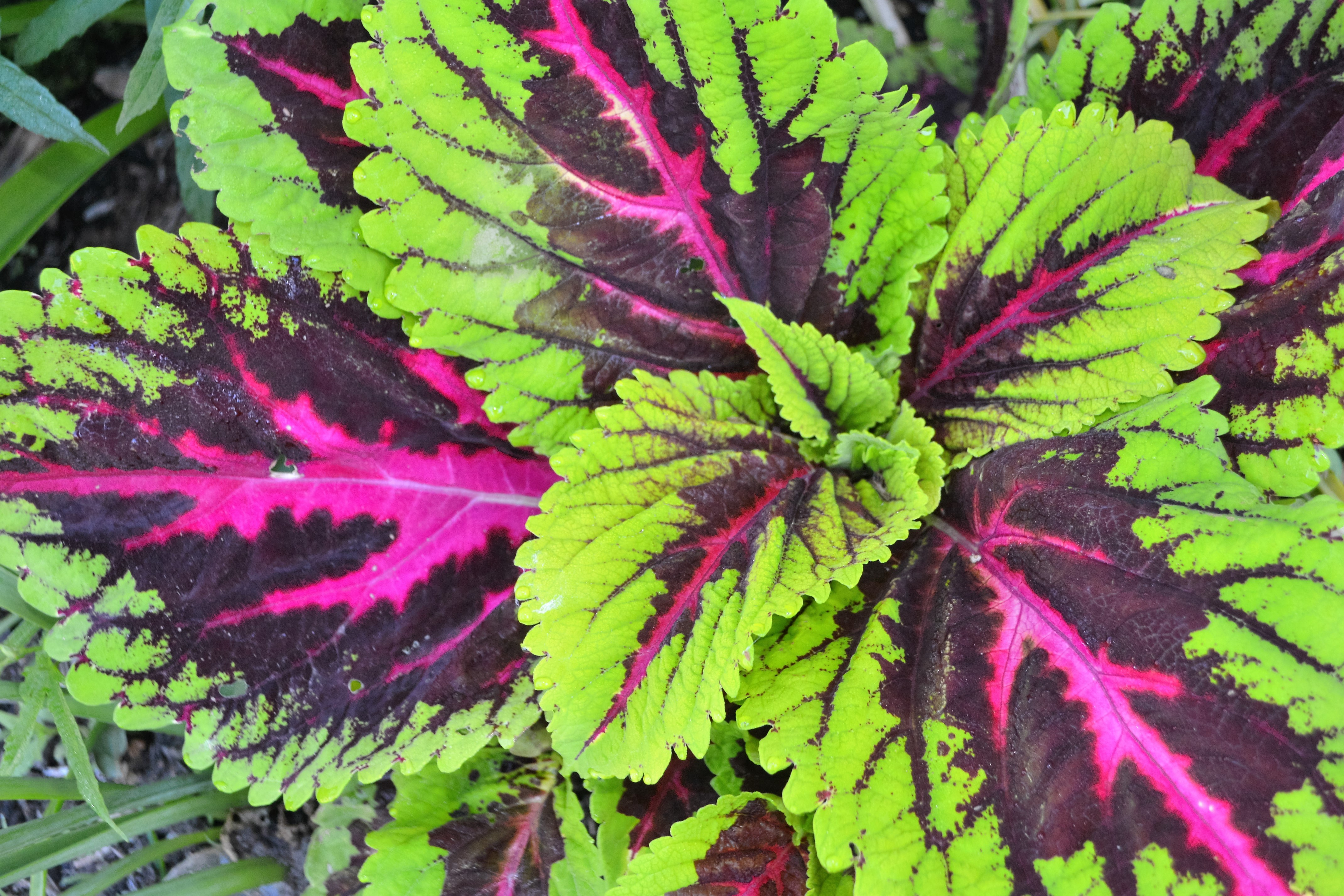 Growing Coleus Plants