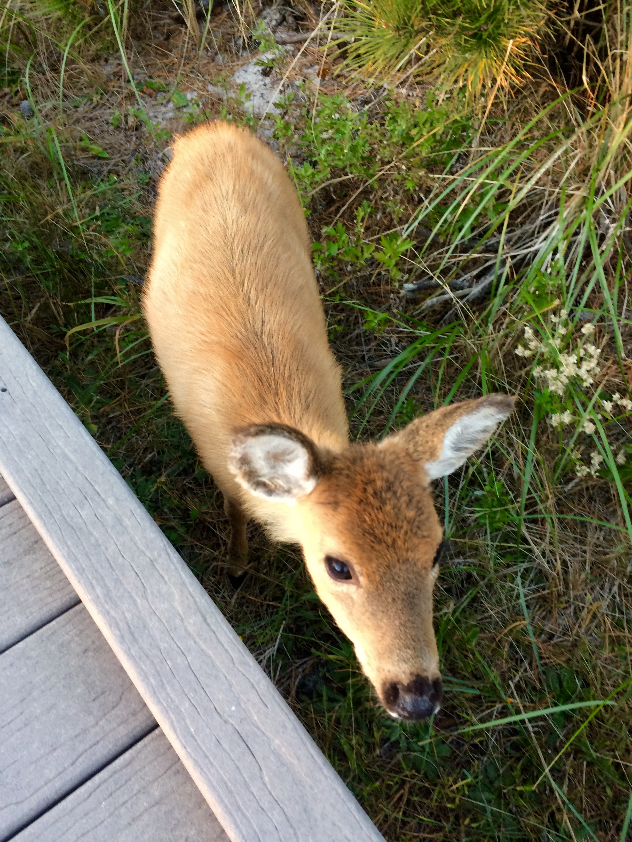 baby deer on fire island photo by laura cerrano