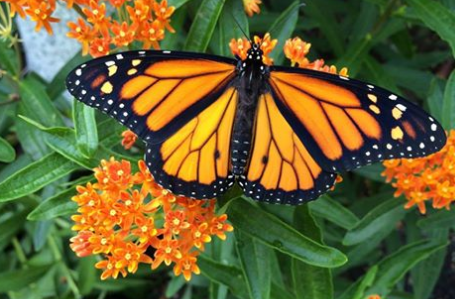 Monarch butterfly - Friends of the Green Bay trail