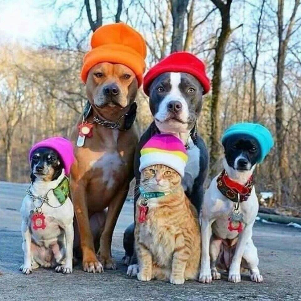 Dress up your pet day - Cats Dogs Hats Dress Up Your Pet Day National Hat Day