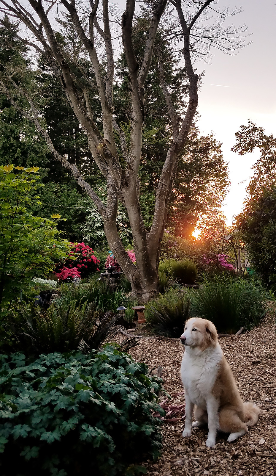 Maggie in the garden at sunset - 2019