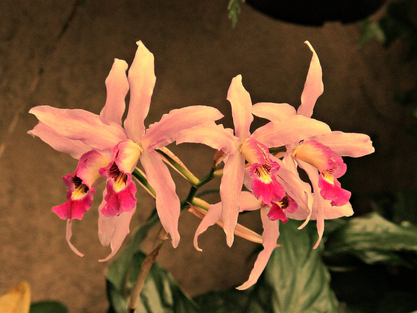 Orchids, Longwood Gardens, Photo by Roy Kelley, Roy and Dolores Kelley Photographs