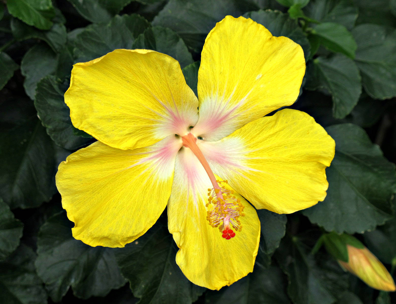 Yellow hibiscus state flower of hawaii yellow hibiscus longwood gardens photograph by roy kelley roy and dolores kelley photographs izmirmasajfo Choice Image