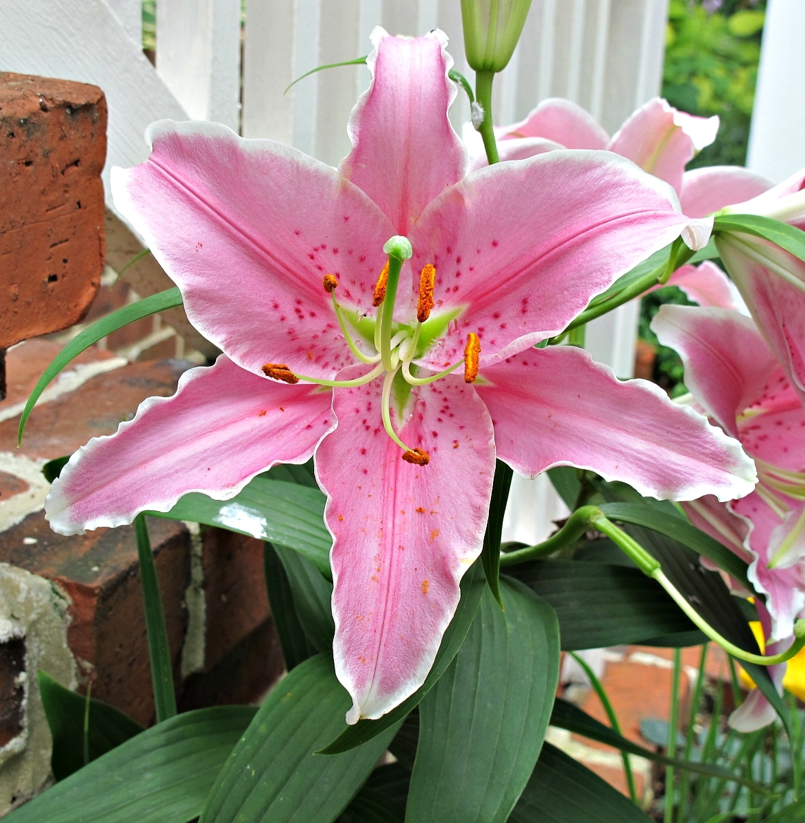 Pink Sapphire Oriental Lily, Lilium Oriental, Kentlands, Gaithersburg, Maryland USA IMG 5048 Canon PowerShot G11 Camera Photograph by Roy Kelley  Roy and Dolores Kelley Photographs