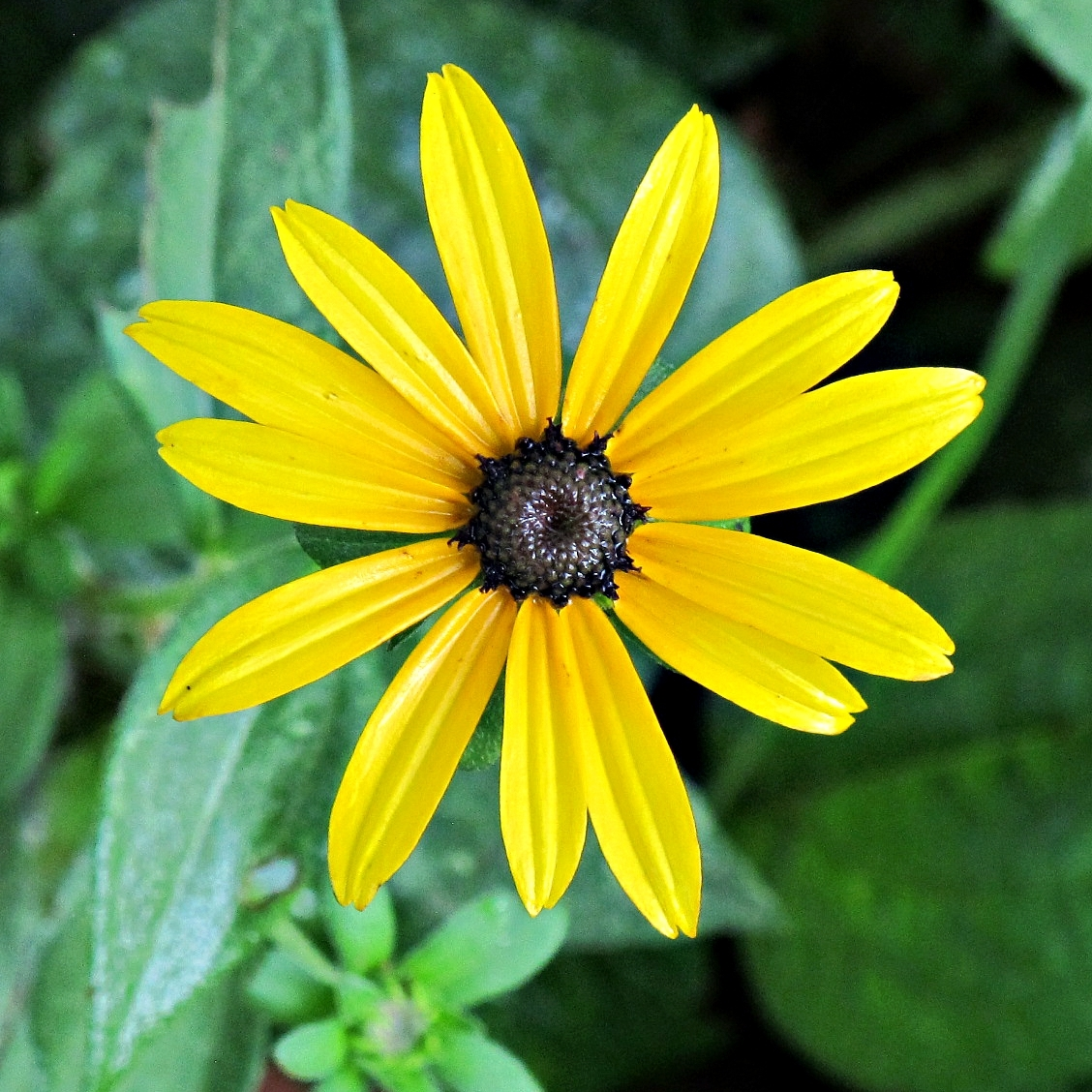 Black-Eyed Susan, Rudbeckia, Maryland State Flower, Kentlands Photowalk, Gaithersburg, Maryland USA IMG 5376 Canon PowerShot G11 Camera Photograph by Roy Kelley Roy and Dolores Kelley Photographs