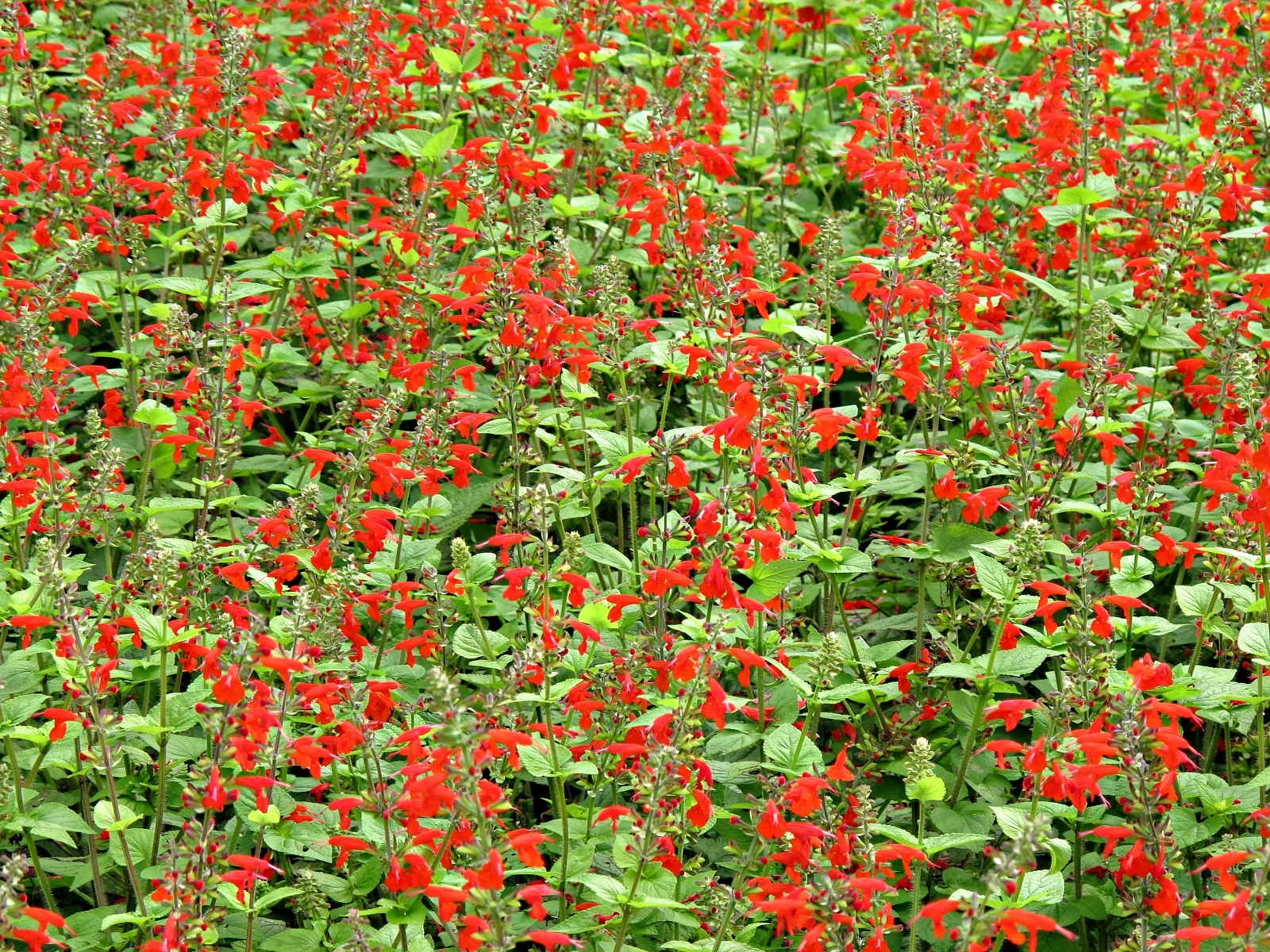 Texas Sage, Salvia coccinea, Lady in Red, Longwood Gardens, Kennett Square, PA USA IMG 5431 Canon PowerShot G11 Camera Photograph by Roy Kelley Roy and Dolores Kelley Photographs