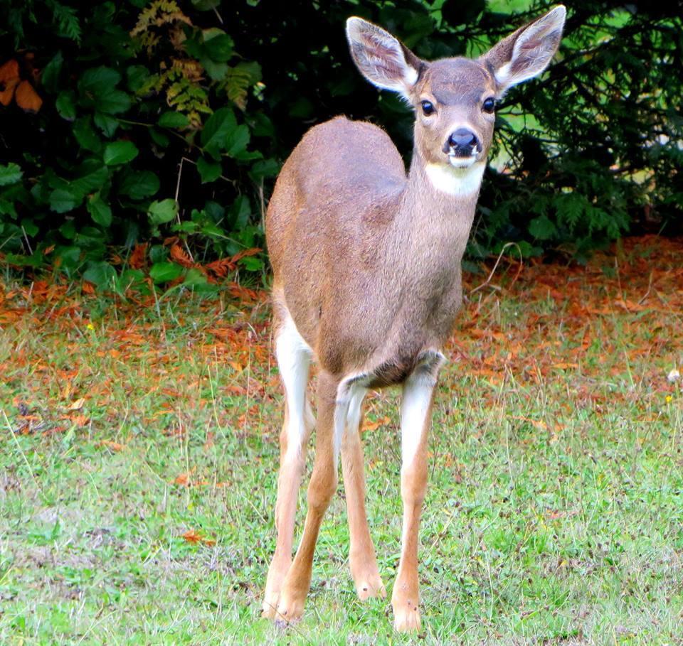 young deer