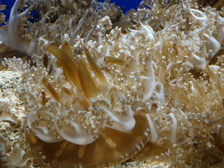 Upside down jellyfish Maui Ocean Center