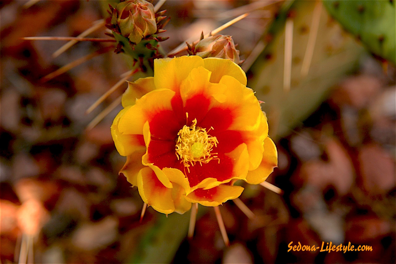 Cactus Flower at Cottages At Coffeepot