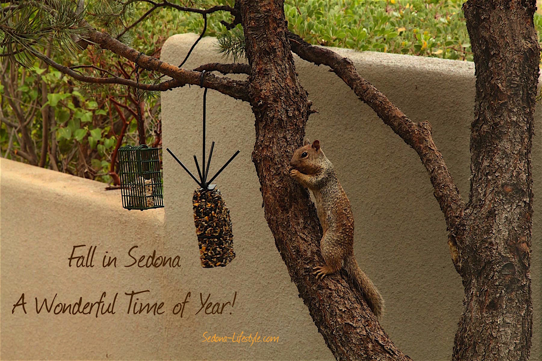 Sedona Fall squirrel and seeds climbing a tree