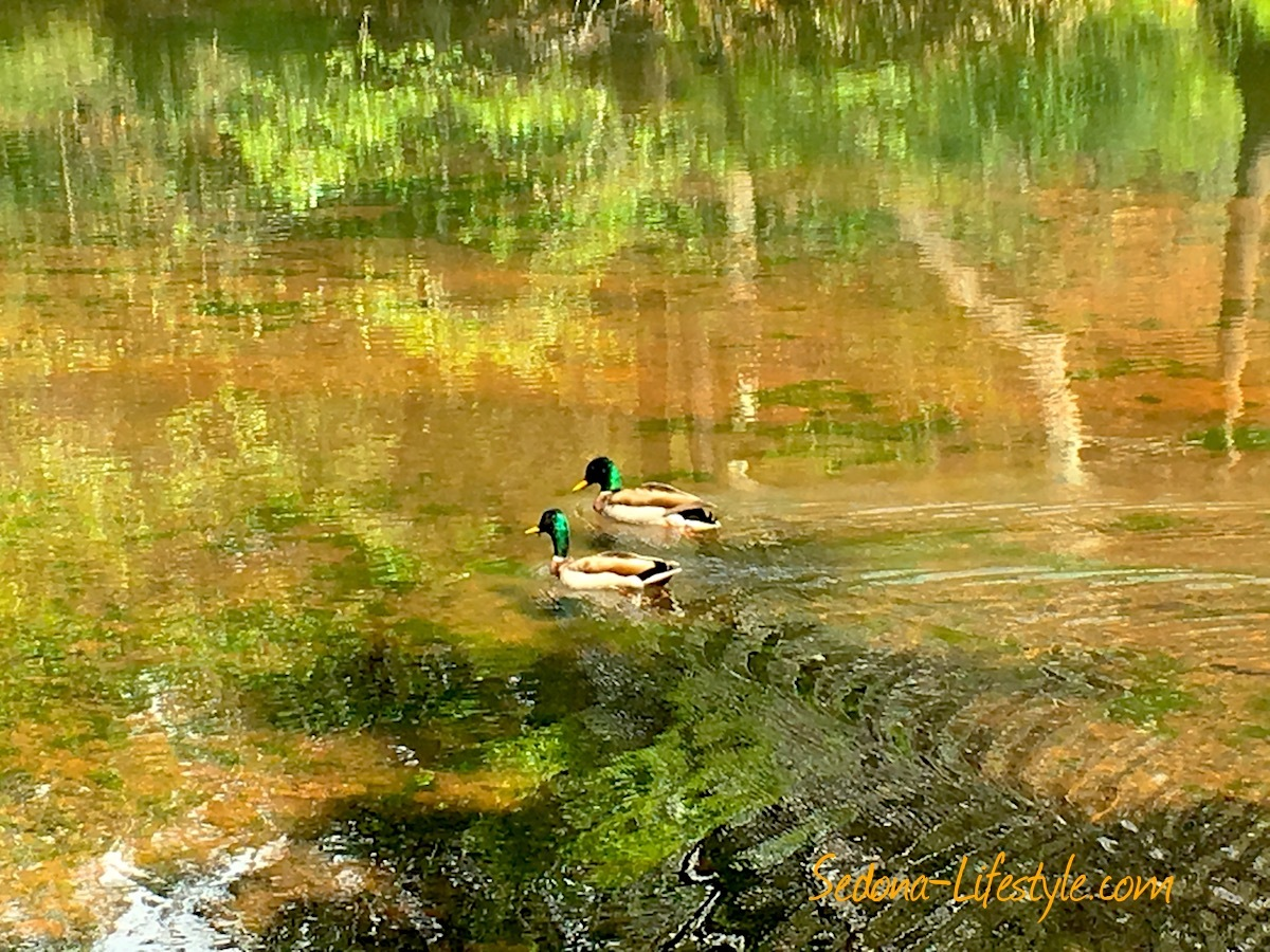 Surrealistic Mallards in Oak Creek – Tranquil Serenity