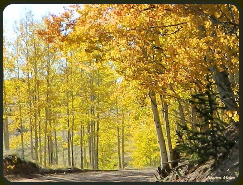 Golden Yellow Aspen Leaves