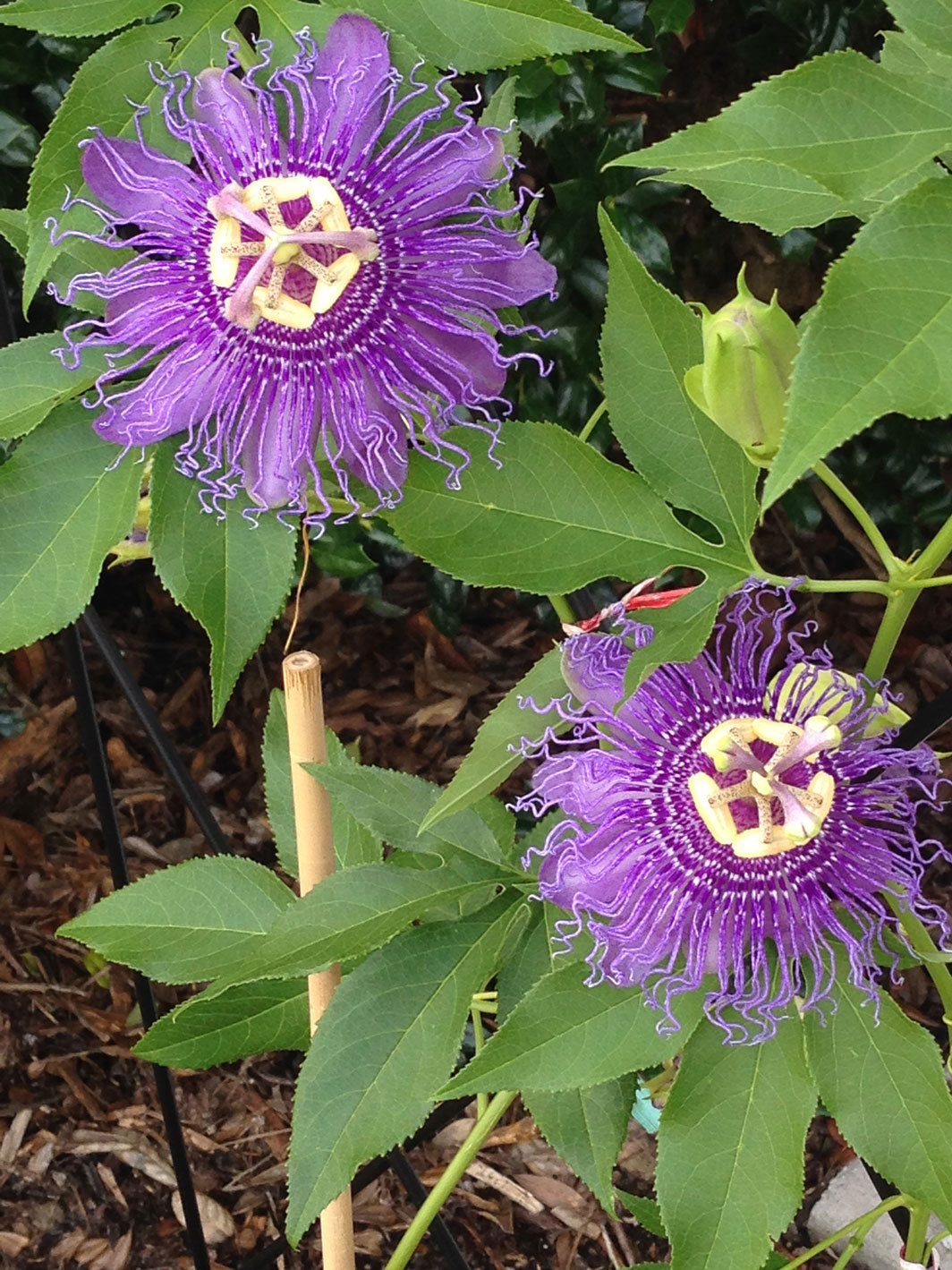 Lowcountry passion flower