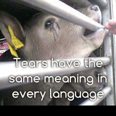 Tears from a cow