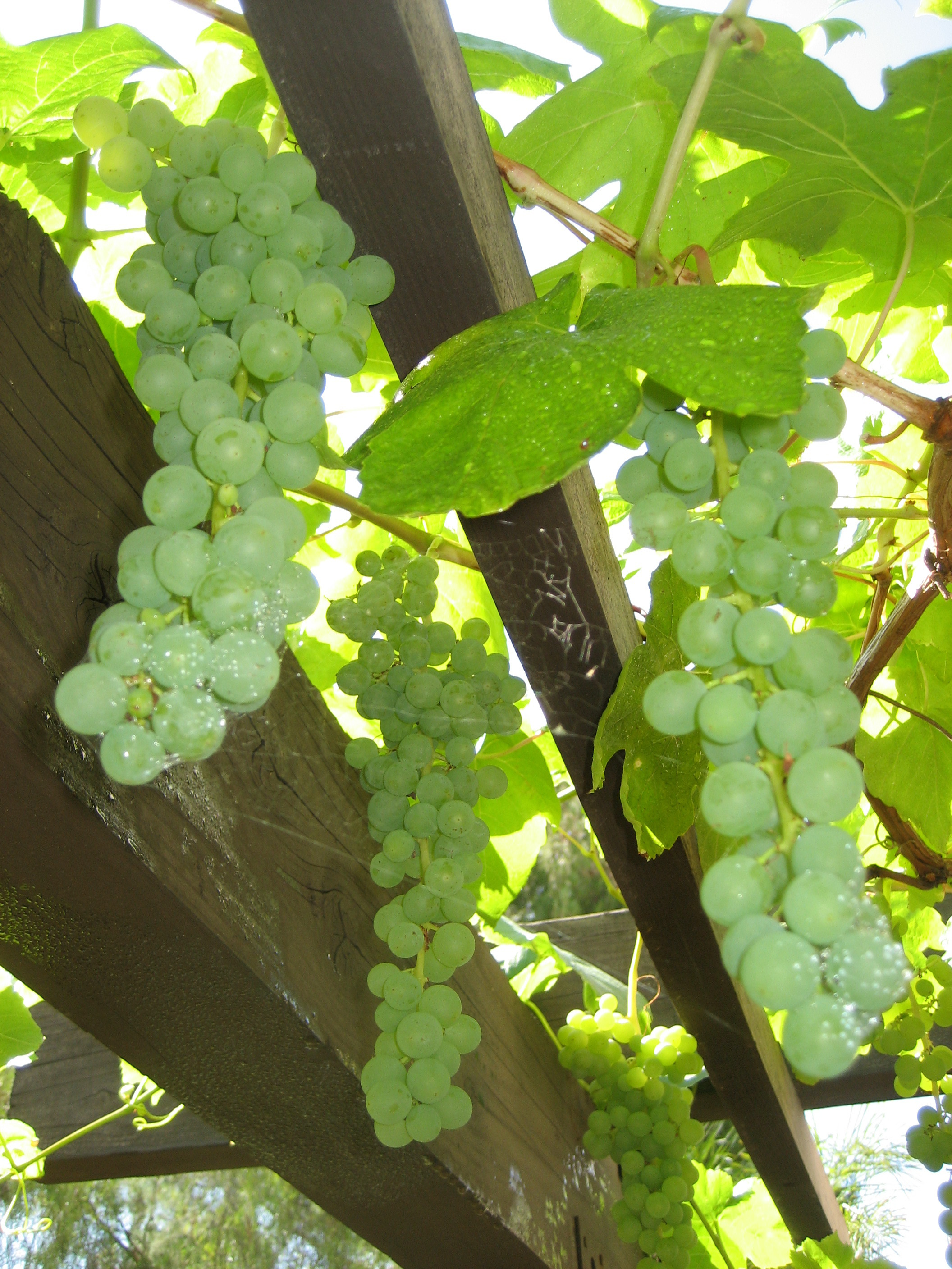 grapes of mathy tj nelson