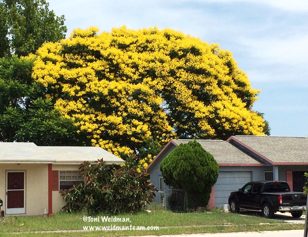 Port richey fl goldenrain tree is magnificent mightylinksfo