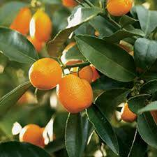 Kumquat Festival 2015 Is Saturday, January 31