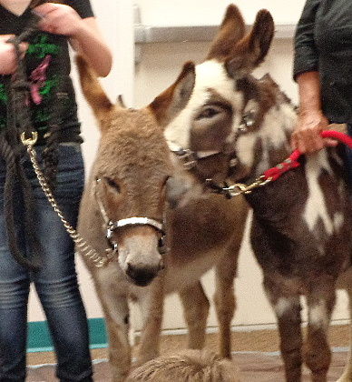 Centennial Park Library- Holiday, FL Hosts Mini Donkeys